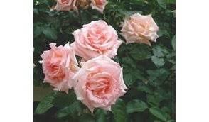 planter et tailler un rosier toutes les astuces qu il faut conna tre libertalia. Black Bedroom Furniture Sets. Home Design Ideas