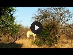 Vidéo: Afrique du sud grand safari dans la réserve Kapama(South Africa safari in the great reserve Kapama)
